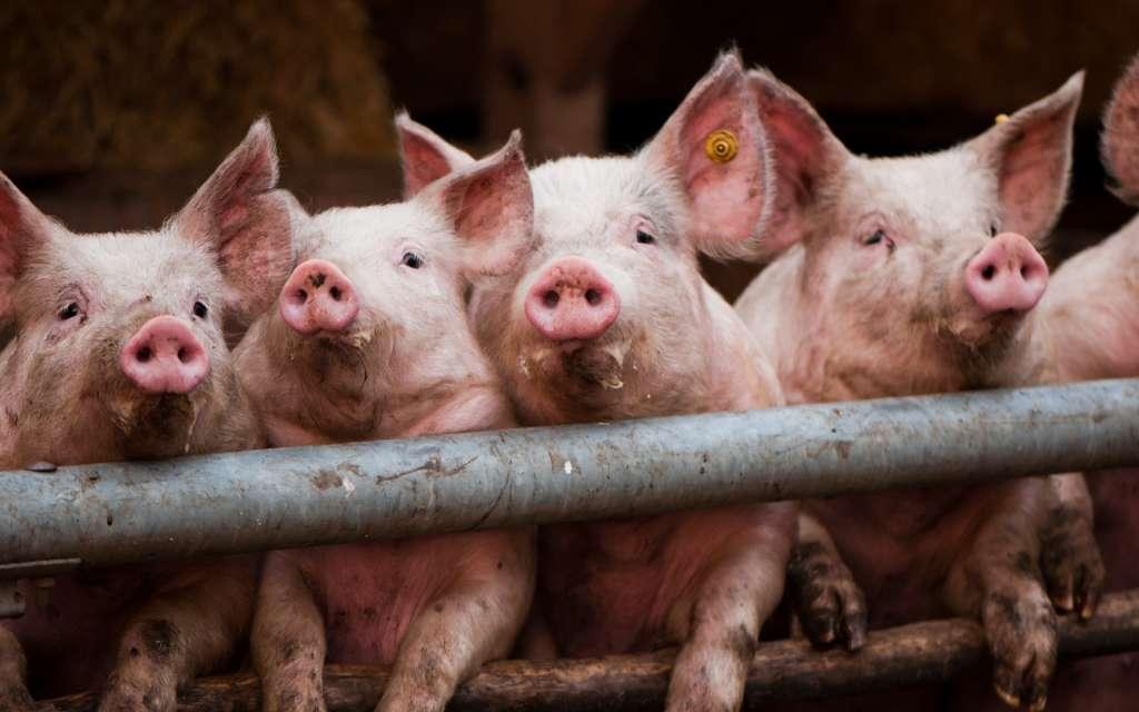 Росія заборонила ввезення київських свиней