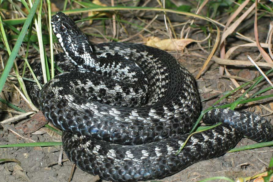 На Львівщині чоловіка вкусила змія