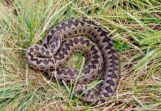На Львовщине 53-летняя женщина пострадала от укуса змеи