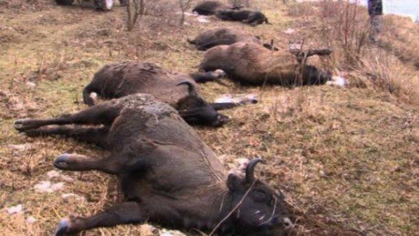 Вінницьким браконьєрам загрожує в'язниця за вбивство 17 зубрів