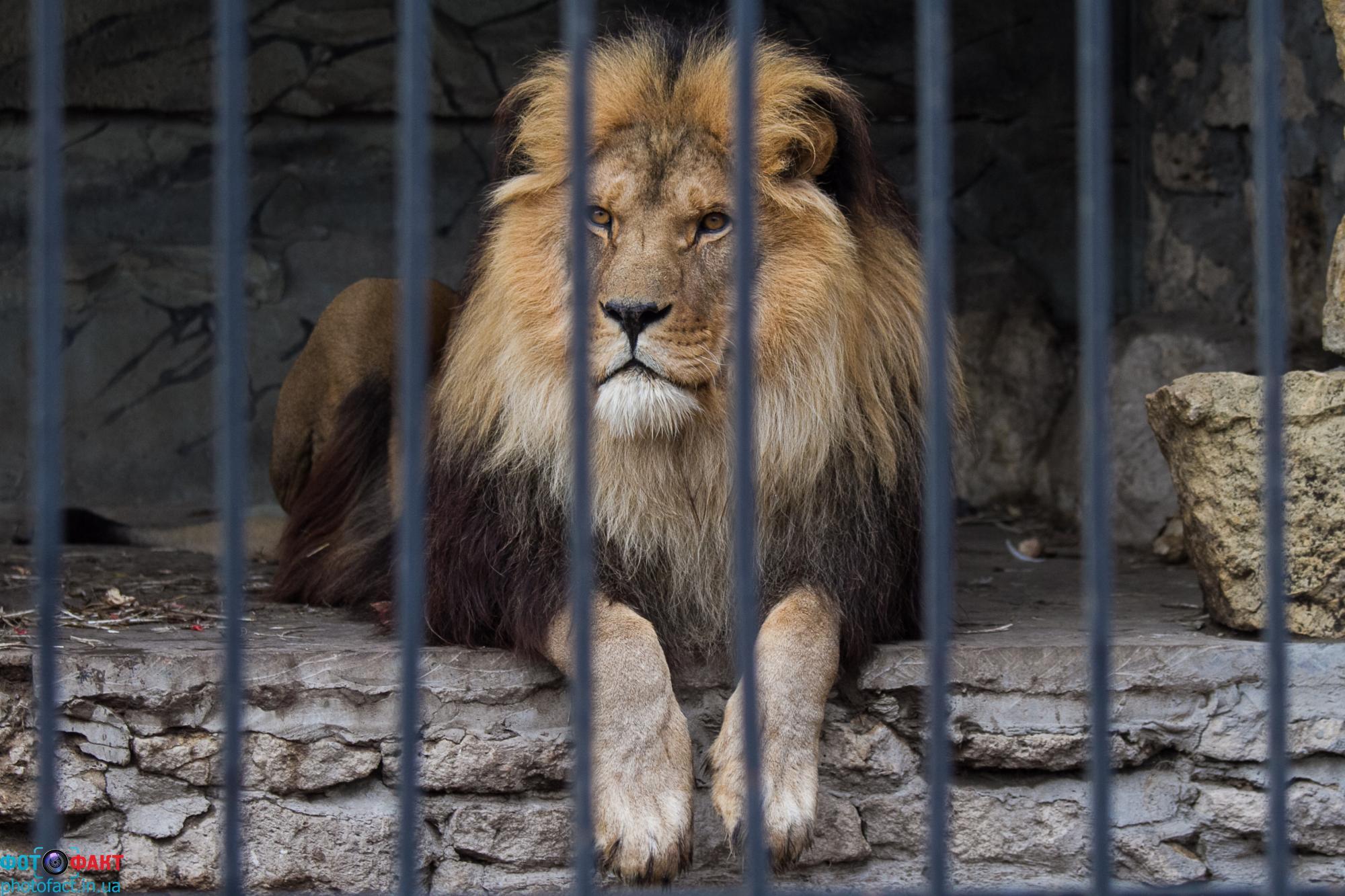 На Самбірщині лев одному чоловікові пошматував руку, а другому ногу