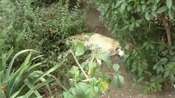 Самопроголошена влада Криму масово вбиває безпритульних собак