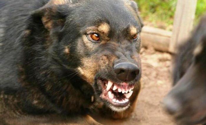 Жахіття триває: собаки, які під Києвом загризли ветерана АТО, продовжують нападати на дітей (ВІДЕО)