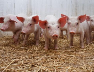 У ЛНР окупанти відібрали у фермера майже півтисячі свиней