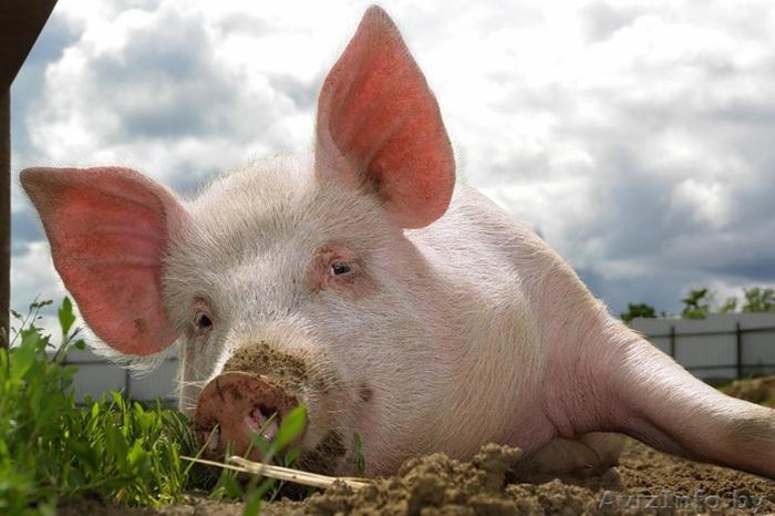 Чума свиней: на Полтавщині та Черкащині зафіксовано нові спалахи