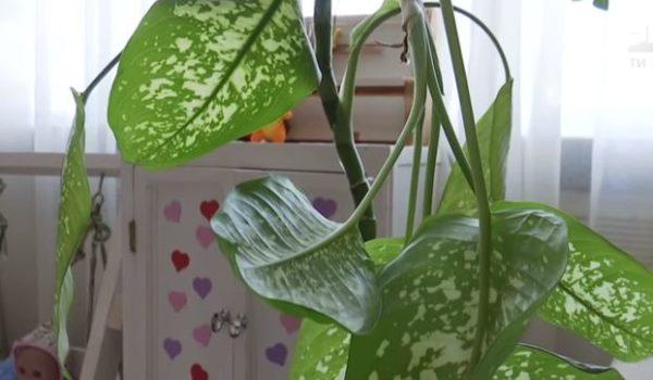 """""""Від цієї кімнатної рослини…"""": дитина опинилась в реанімації через отруєння"""
