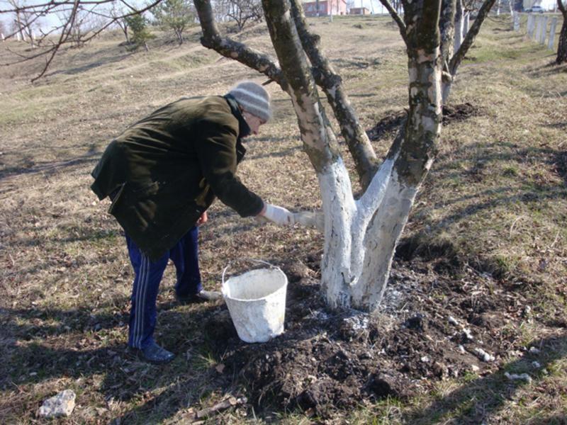 Штраф до 1700 гривень: Де в Україні заборонили білити дерева та бордюри