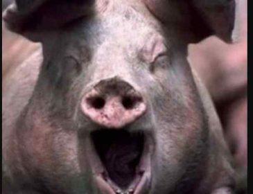 Хотіла нагодувати їх: домашні свині насмерть загризли жінку